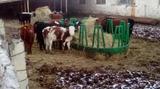 Продаем мясных мраморных телок 6-8 месяцев
