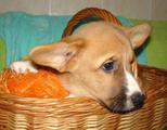 Вельш Корги Кардиган породистый щенок
